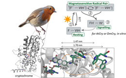 Khoa học cho rằng loài chim dựa vào trường địa từ để điều hướng, nhưng thực tế chúng sử dụng cơ học lượng tử?