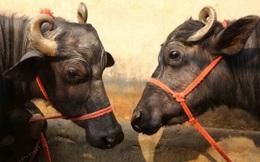 Nông dân Ấn Độ kiếm bộn tiền nhờ trâu sữa Murrah