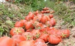 Nông sản Hải Dương vướng dịch không bán được, nông dân lỗ nặng