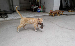 Thừa biết mèo là kẻ thù truyền kiếp của chuột nhưng vẫn mua 3 con chuột cảnh về nhà, cảnh tượng xuất hiện sau đó khiến chủ nhân kinh ngạc