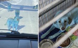 Băng đảng chó Nga khiến du khách hết hồn vì chặn đầu xe với bộ lông xanh lè