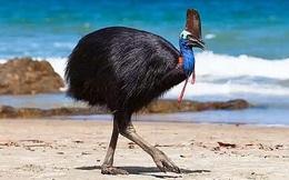 1001 thắc mắc: Loài chim nào lớn nhất, nguy hiểm và hung hăng nhất thế giới?