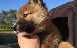 """Đem chú chó con đi lạc về nhà nuôi, 1 tháng sau, chủ nhà kinh ngạc khi nghe tin từ bác sĩ thú ý, phải """"đổi chủ"""" cho con vật"""