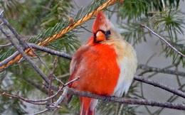 Phát hiện con chim 'nửa đực nửa cái' cực kỳ quý hiếm