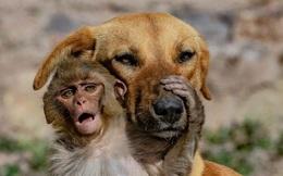 """Đang đi đường tình cờ bắt gặp bộ đôi khỉ và chó quấn quýt, nhiếp ảnh gia tìm hiểu càng ngỡ ngàng hơn với mối quan hệ """"mẹ con"""" lạ đời của chúng"""