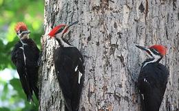 Thiên nhiên kỳ thú: Bất ngờ với lý do chim gõ kiến thích mổ gỗ