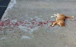 Thấy con mèo nằm bất động trên vũng máu, cô gái tiến lại gần liền thót tim khi chứng kiến cảnh tượng trước mắt