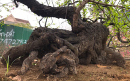 """Chiêm ngưỡng cây đào cổ thụ dáng """"rồng bay"""", chủ nhân không bán mà chỉ cho thuê với giá 150 triệu"""