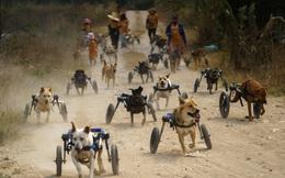 7 ngày qua ảnh: Xúc động chó khuyết tật tập thể dục hàng ngày