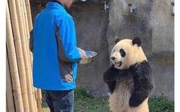 """Muôn kiểu gấu trúc gấu trúc trong vườn thú khiến các nhân viên """"dở khóc dở cười"""""""