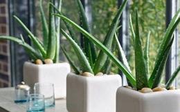 4 loại cây mà nhà nào cũng nên trồng ngay để hút mọi khí độc trong nhà