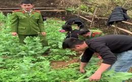 Lạng Sơn: Người phụ nữ trồng cả vườn thuốc phiện làm thức ăn cho trâu, bò