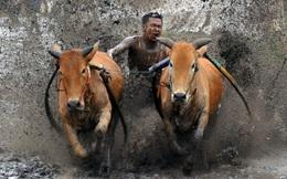 24h qua ảnh: Lễ hội đua bò trên ruộng lúa ở Indonesia