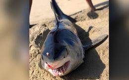 Cá mập bị 'vật thể bí ẩn' đâm thủng đầu, dạt vào bờ biển