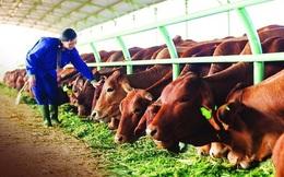 """Những """"đại gia"""" nuôi bò: Bầu Đức thất bại, """"tay to"""" ở Gia Lai sa lầy, ông Tam Asanzo vẫn chi 2.000 tỷ nhảy vào?"""