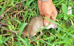 Lãnh đạo Cần Thơ giải thích kế hoạch 30 tỷ đồng... phòng chống chuột