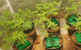 Dựng lều trồng cần sa ở Thủ Đức, lên mạng rao bán kiếm tiền