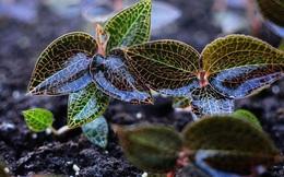 """Loại cỏ mọc hoang được ví là """"thần dược"""", """"cỏ thiêng"""", quý hơn nhân sâm, có giá lên tới 20 triệu đồng/kg"""