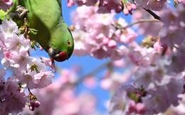 7 ngày qua ảnh: Chim vẹt ăn hoa anh đào nở rộ mùa xuân