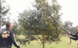"""Cả làng nháo nhác xem bắt rắn hổ mang chúa """"khủng"""" dài 4m trốn trên cây sầu riêng"""