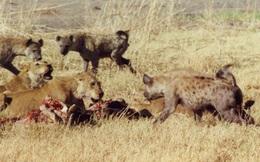 Voi vô tình cứu sống sư tử trước bầy linh cẩu dữ tợn