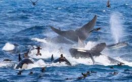 Ngoạn mục cảnh cá voi xanh 16m bị 70 cá voi sát thủ truy sát và hủy diệt