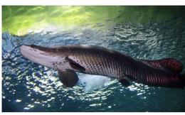 """Phát hiện """"quái vật sông Amazon"""" chết ở Florida"""