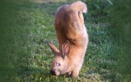 Đằng sau chú thỏ 'trồng cây chuối' dễ thương này là một sự thật đầy xót xa từ con người