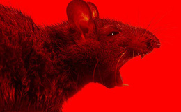 Cuộc 'đổ bộ' và hoành hành của hàng chục triệu con chuột sau trận lũ lịch sử: Úc vẫn chưa hết khổ!
