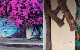 Xôn xao giàn hoa giấy khổng lồ đẹp nhất Vũng Tàu bị kẻ gian chặt gốc, cư dân mạng xót xa chia sẻ hình ảnh gốc cây 'lửng lơ' bên vệ đường!?