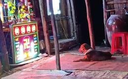Được chủ xả thân cứu khỏi đám cẩu tặc, chú chó ngồi trước ban thờ cả đêm không chịu rời đi