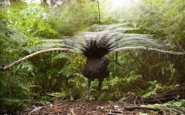Loài chim có phong cách 'tán gái' vô địch thiên hạ: Khi tình yêu rốt cục cũng chỉ là một cú lừa cay đắng