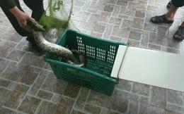 Kinh hãi phát hiện trăn gấm nặng 7kg bò vào vườn nhà dân ở Hà Tĩnh