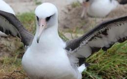 Con chim già nhất thế giới vẫn sinh nở ở tuổi 70