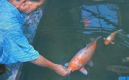 Chiêm ngưỡng cụ cá Koi 226 tuổi già nhất thế giới