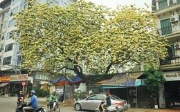 Cây bún 300 năm tuổi độc nhất ở Hà Nội nở bung khoe sắc