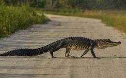 24h qua ảnh: Cá sấu thản nhiên băng qua đường ở Mỹ