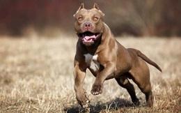 Những giống chó nguy hiểm và bị cấm nuôi nhiều nhất trên thế giới