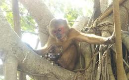 Thuê chuyên gia bắt khỉ 'rụng' chân về điều trị