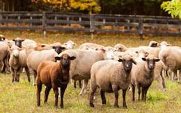 Chôn 360 triệu trong khu chuồng cừu đề phòng kẻ trộm, cặp vợ chồng lâm vào cảnh dở khóc dở cười