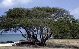 Cây đẹp nhưng đó là loài cây độc nhất hành tinh, chỉ đứng dưới gốc cây cũng nguy cơ chết người