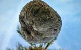 """Bức ảnh chụp """"góc hiểm"""" của cây dừa khiến thanh niên phải thay điện thoại mới đăng được lên Facebook: Đúng là hy sinh vì nghệ thuật!"""