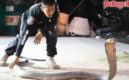 Chật vật bắt hổ mang chúa dài hơn 4 mét