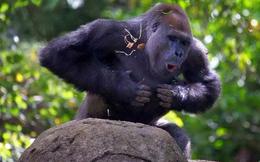 1001 thắc mắc: Giải mã hành vi vỗ ngực đồm độp của khỉ đột