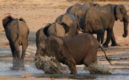 Một quốc gia cho phép bắn giết voi và gói chiến lợi phẩm về nước với giá 1,6 tỉ VNĐ/1 suất