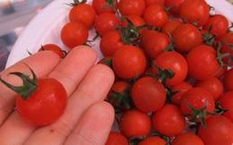 Ngỡ ngàng với loại cà chua Lâm Đồng giá nửa triệu đồng/kg