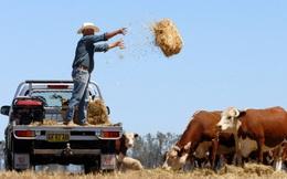 """Công sứ TQ """"mắng"""" Mỹ-Úc thông đồng hại TQ: TQ không phải bò sữa, vắt sữa xong rồi giết thịt"""