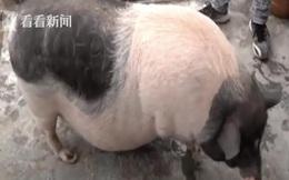 Mua 1 chú lợn về làm thú cưng, 1 năm sau, chủ nhân phải tìm cấp tốc tìm chủ mới cho con vật
