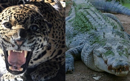 Báo đốm và cá sấu: Những màn kịch chiến một mất một còn