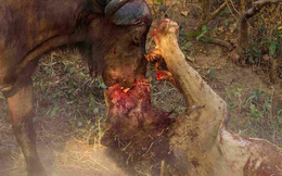 Trâu rừng 1 tấn kịch chiến sư tử,húc thủng bụng kẻ săn mồi